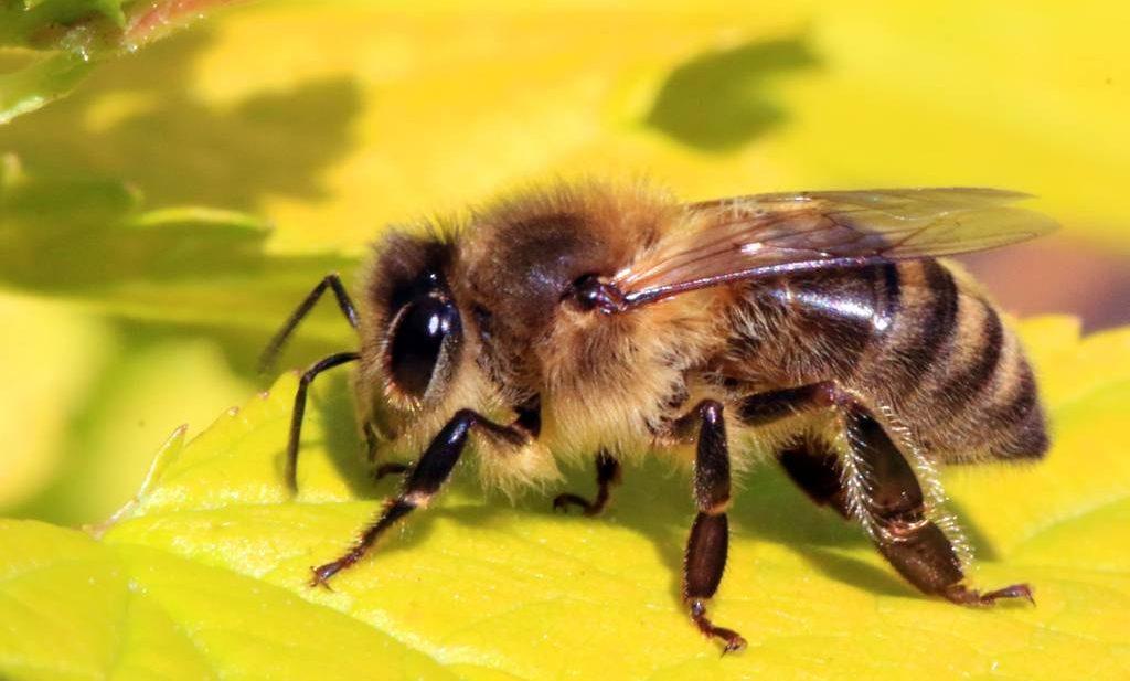 Bee on Flower Apis mellifera