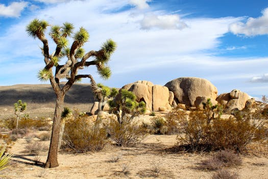 Joshua Tree in Mojave Desert