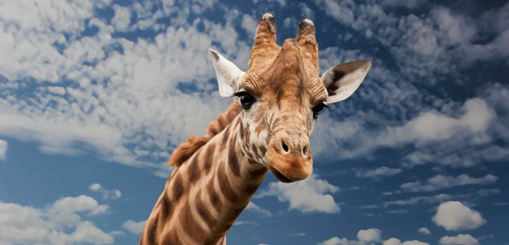 giraffe-animal-funny-facial-expression-39504 (1)